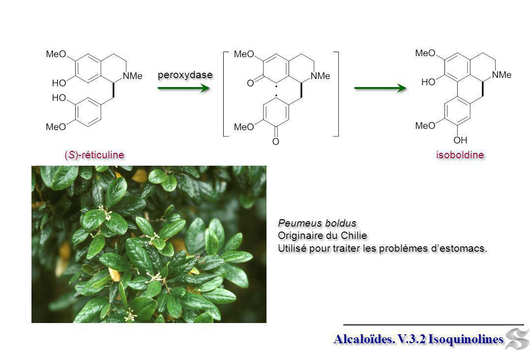 Alcaloïdes. V.3.2 Isoquinolines (S)-réticuline peroxydase isoboldine Peumeus boldus Originaire du Chilie Utilisé pour traiter les problèmes destomacs.