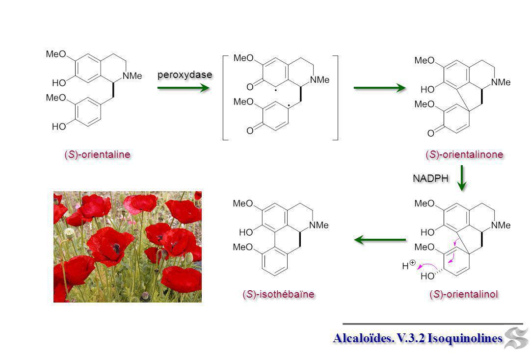 Alcaloïdes. V.3.2 Isoquinolines (S)-orientaline peroxydase (S)-orientalinone (S)-isothébaïne (S)-orientalinol NADPH