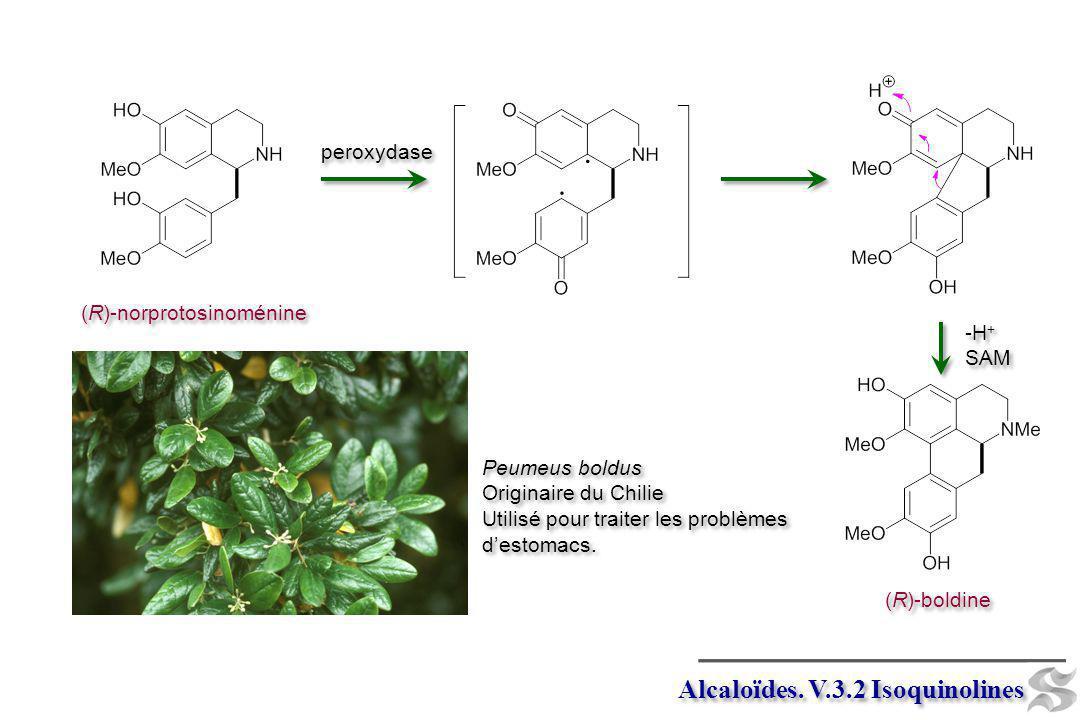 Alcaloïdes. V.3.2 Isoquinolines (R)-norprotosinoménine peroxydase (R)-boldine -H + SAM -H + SAM Peumeus boldus Originaire du Chilie Utilisé pour trait