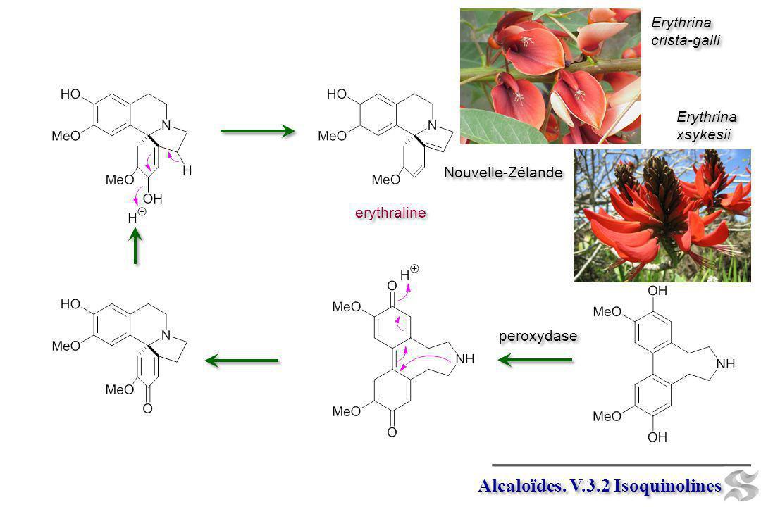 Alcaloïdes. V.3.2 Isoquinolines peroxydase erythraline Erythrina crista-galli Erythrina crista-galli Erythrina xsykesii Erythrina xsykesii Nouvelle-Zé