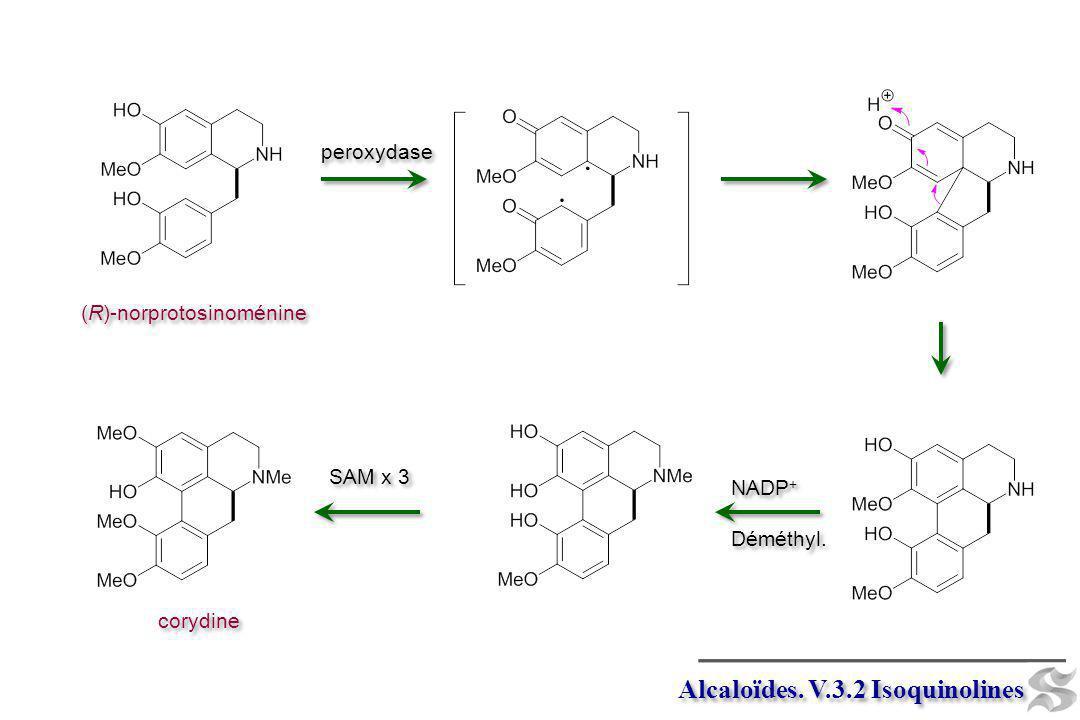Alcaloïdes. V.3.2 Isoquinolines (R)-norprotosinoménine peroxydase NADP + Déméthyl. NADP + Déméthyl. corydine SAM x 3