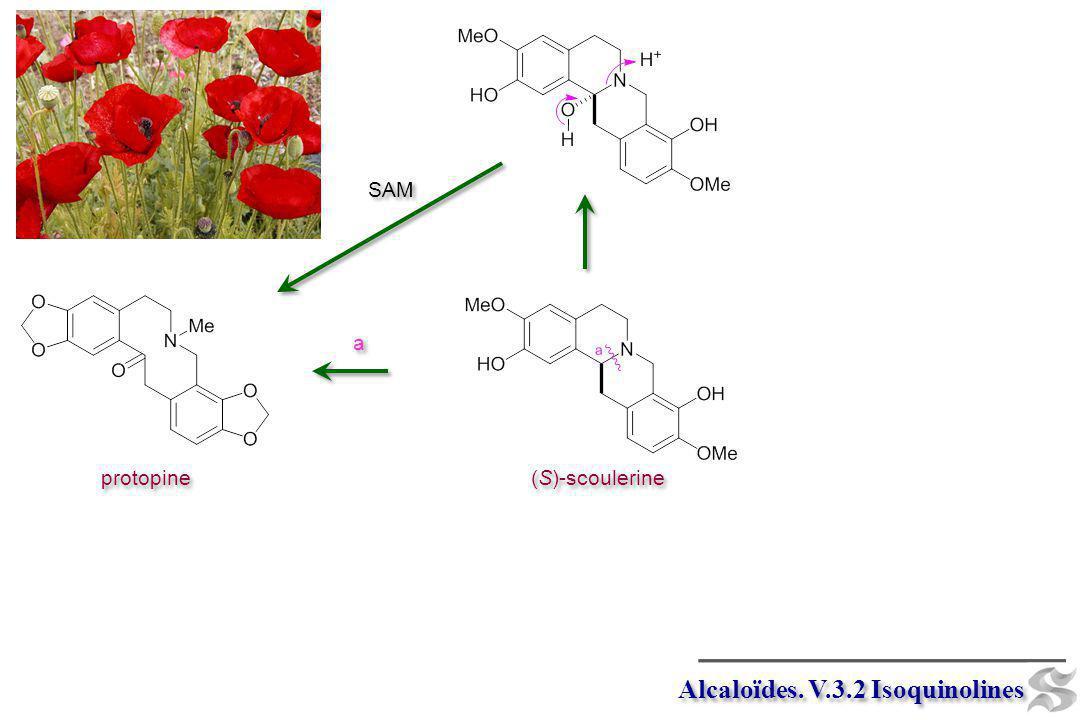 Alcaloïdes.V.3.2 Isoquinolines (S)-scoulerine [Ox] X 2 [Ox] X 2 hydrastine b b [Ox] lacton.