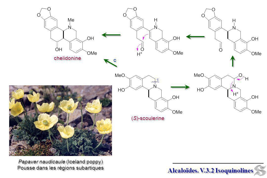 Alcaloïdes. V.3.2 Isoquinolines (S)-scoulerine chelidonine c c Papaver naudicaule (Iceland poppy) Pousse dans les régions subartiques Papaver naudicau
