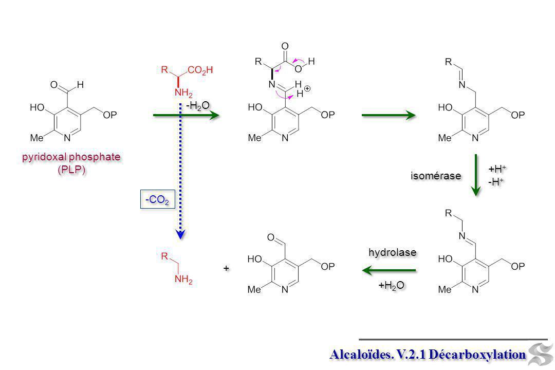 Alcaloïdes. V.2.1 Décarboxylation pyridoxal phosphate (PLP) pyridoxal phosphate (PLP) -CO 2 isomérase +H + -H + +H + -H + -H 2 O hydrolase + + +H 2 O