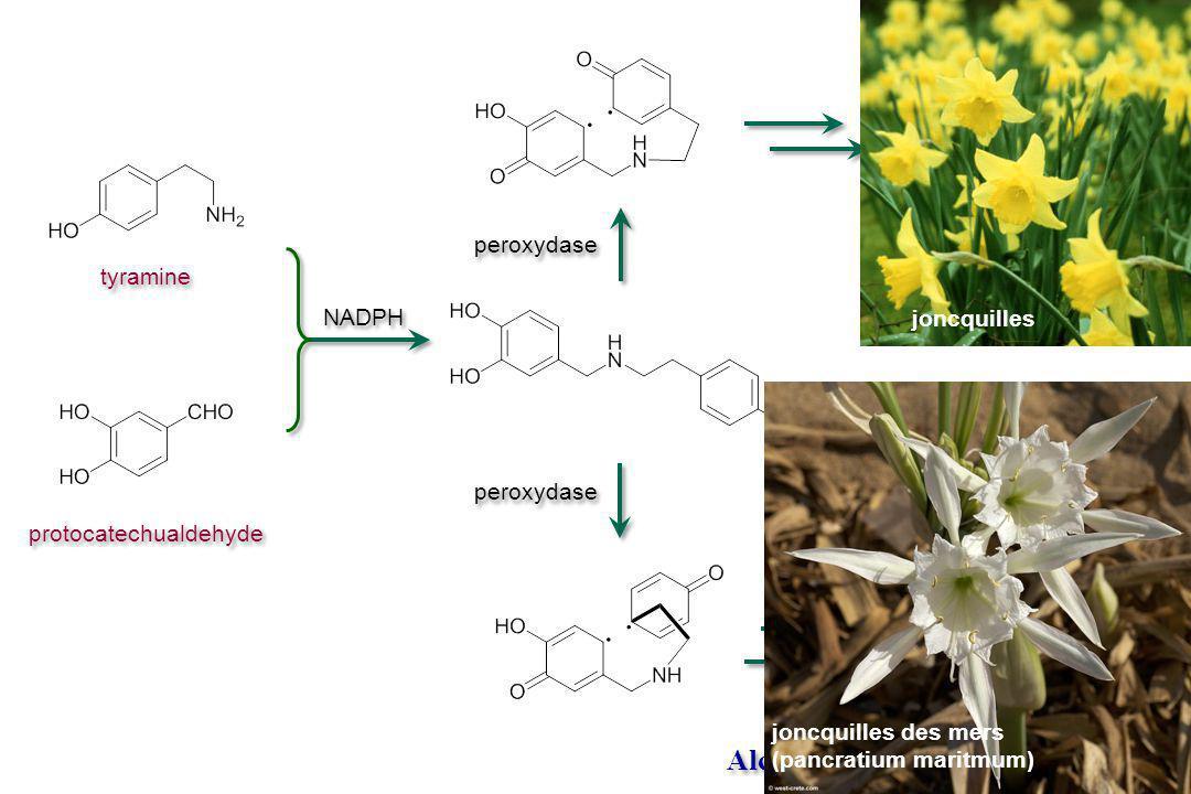 tyramine protocatechualdehyde Alcaloïdes. V.3.4 Amaryllidacea joncquilles des mers (pancratium maritmum) joncquilles