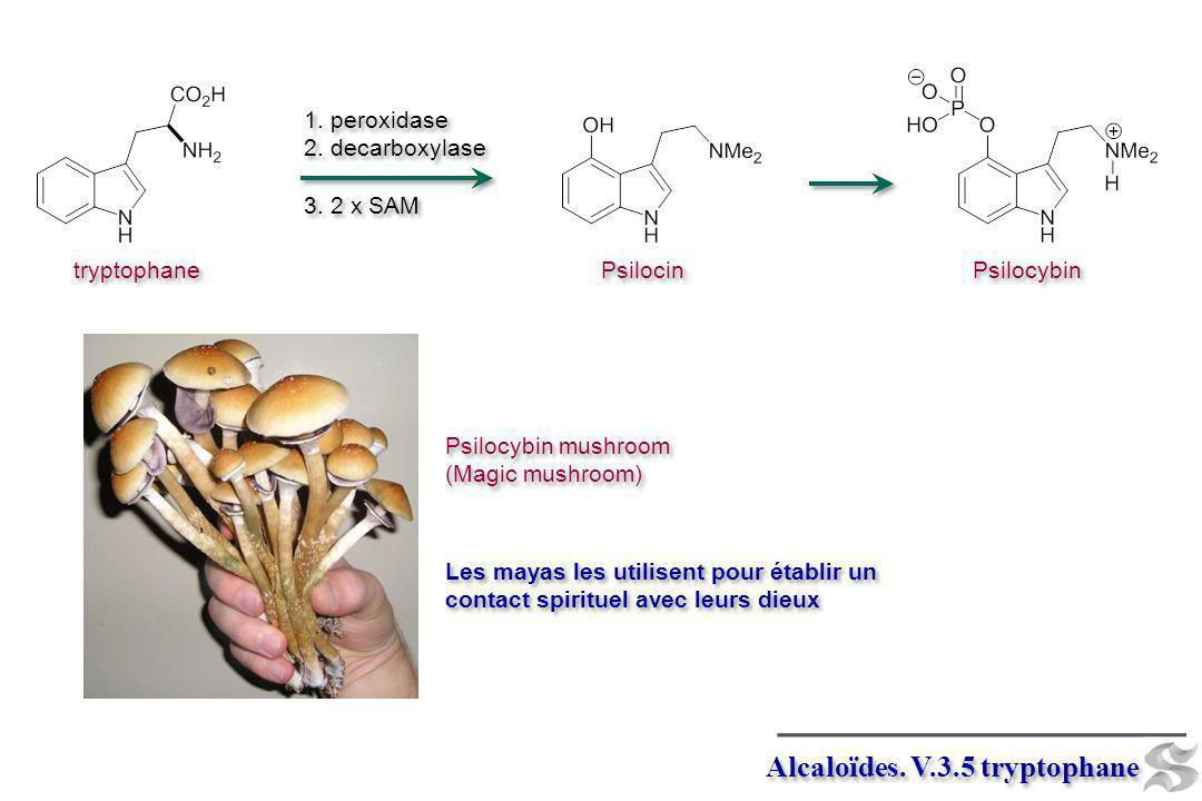 tryptophane Psilocin 1. peroxidase 2. decarboxylase 3. 2 x SAM 1. peroxidase 2. decarboxylase 3. 2 x SAM Psilocybin Psilocybin mushroom (Magic mushroo