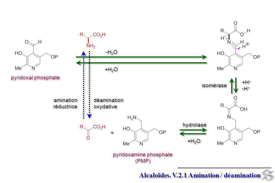 Alcaloïdes. V.2.1 Amination / déamination pyridoxal phosphate isomérase +H + -H + +H + -H + déamination oxydative déamination oxydative amination rédu