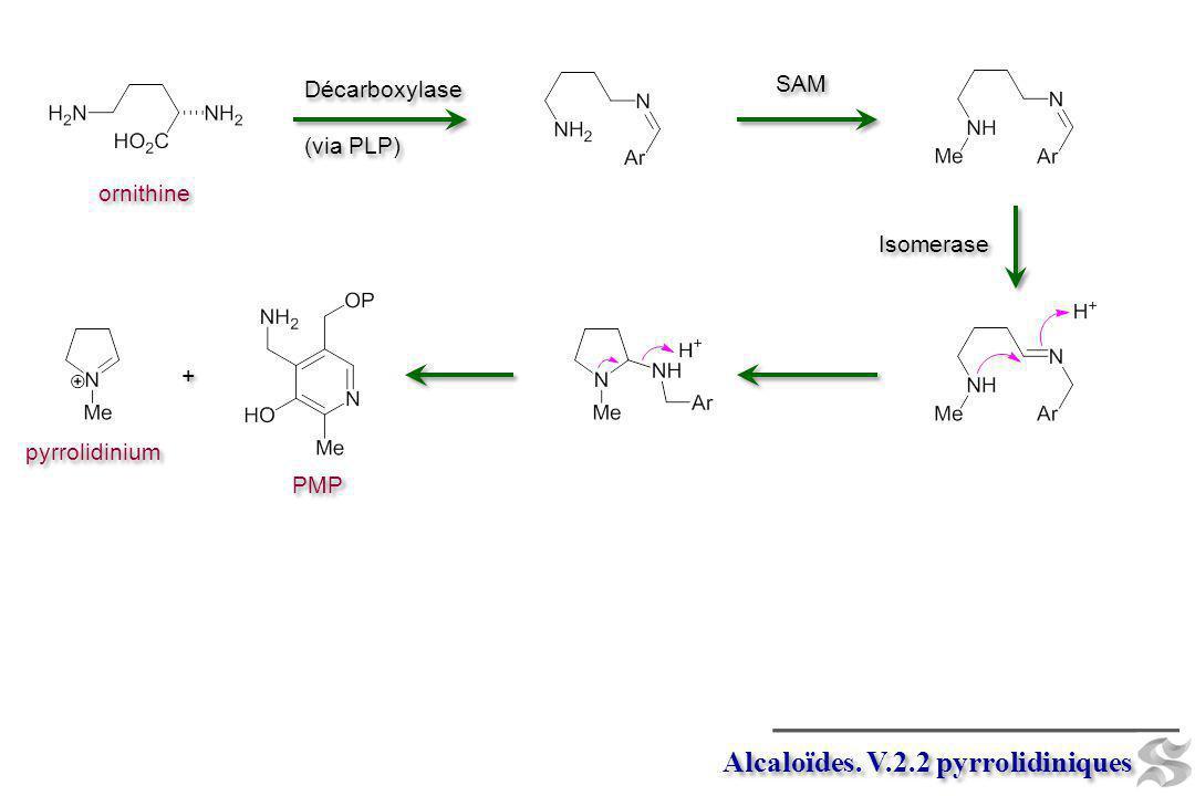 Décarboxylase (via PLP) Décarboxylase (via PLP) ornithine Alcaloïdes. V.2.2 pyrrolidiniques Isomerase SAM + + pyrrolidinium PMP