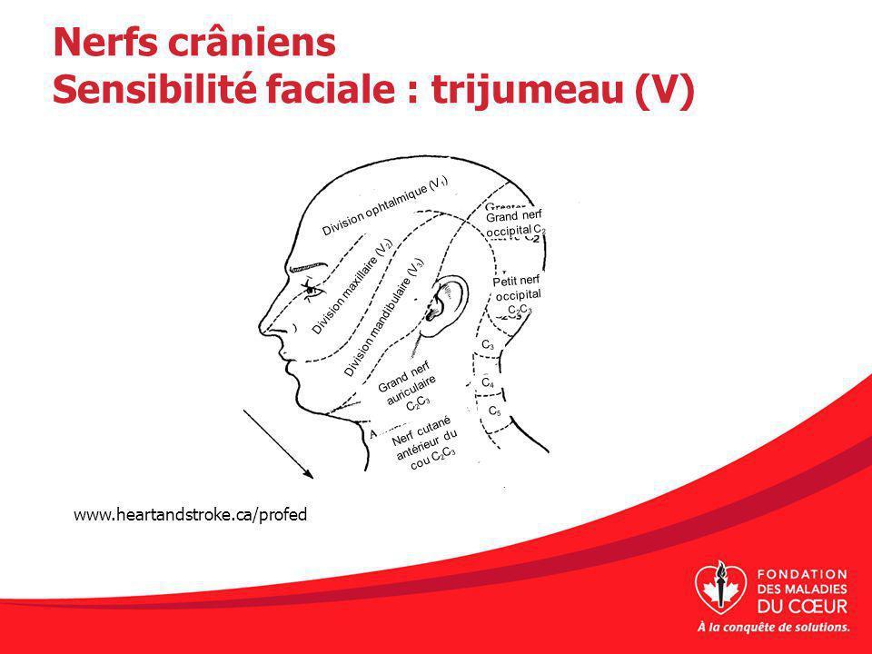 Nerfs crâniens Sensibilité faciale : trijumeau (V) www.heartandstroke.ca/profed Division ophtalmique (V 1 ) Division mandibulaire (V 3 ) Division maxillaire (V 2 ) Grand nerf auriculaire C 2 C 3 Nerf cutané antérieur du cou C 2 C 3 C3C3 C4C4 C5C5 Petit nerf occipital C 2 C 3 Grand nerf occipital C 2