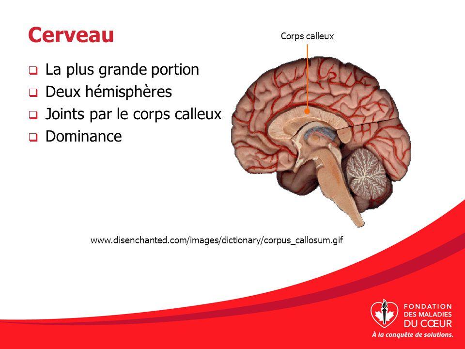 Cerveau La plus grande portion Deux hémisphères Joints par le corps calleux Dominance Corps calleux www.disenchanted.com/images/dictionary/corpus_call