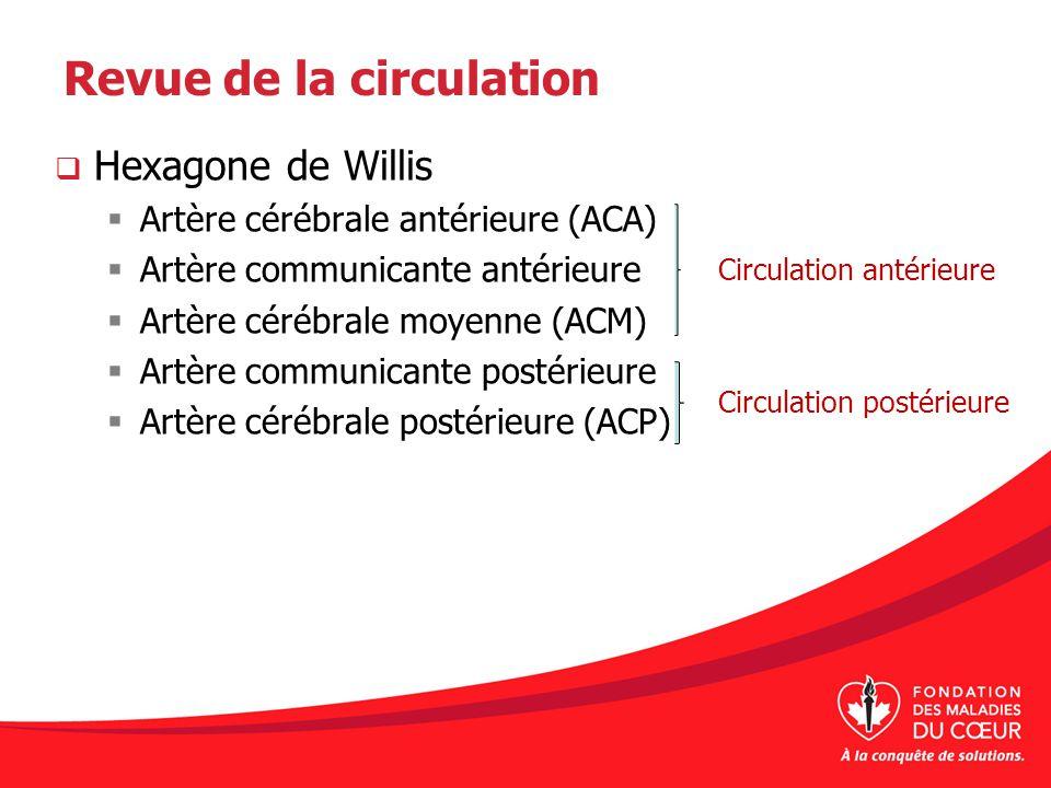 Revue de la circulation Hexagone de Willis Artère cérébrale antérieure (ACA) Artère communicante antérieure Artère cérébrale moyenne (ACM) Artère comm