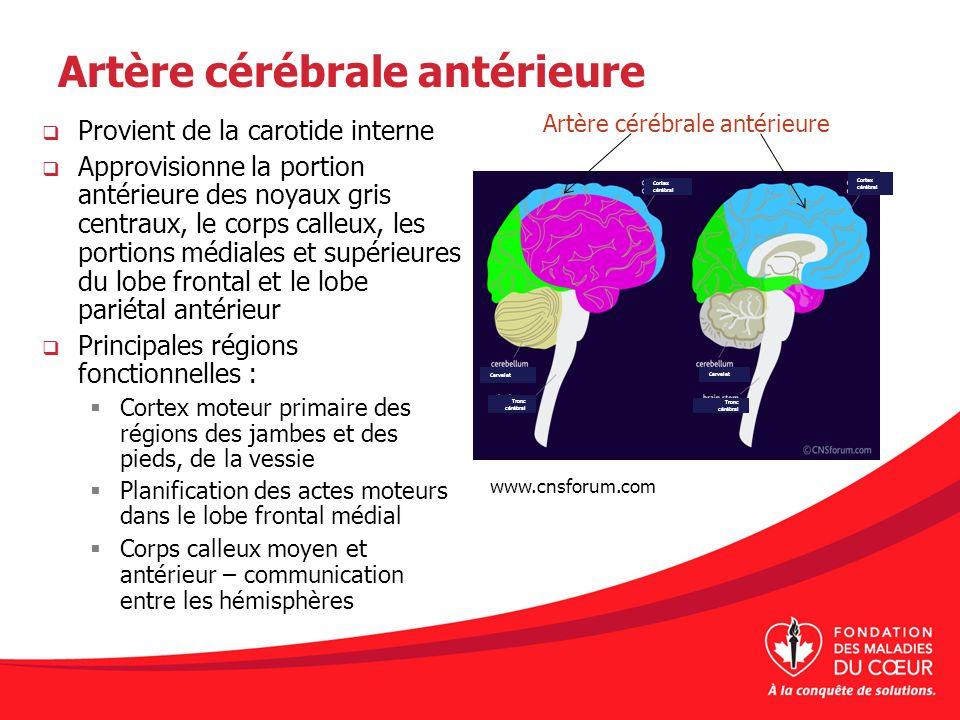 Artère cérébrale antérieure Provient de la carotide interne Approvisionne la portion antérieure des noyaux gris centraux, le corps calleux, les portio