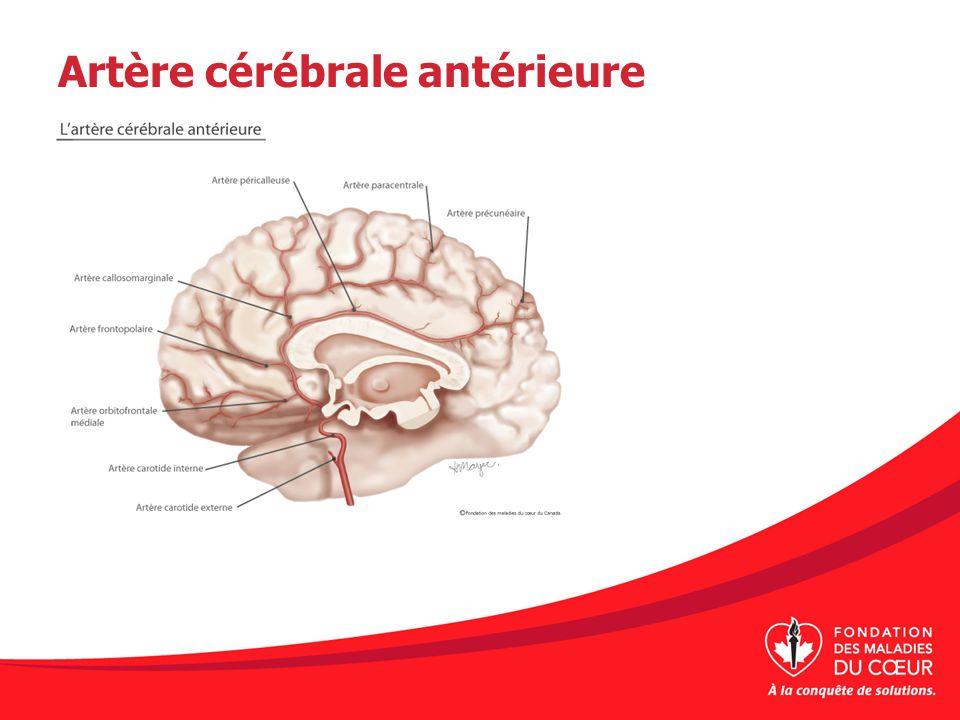 Artère cérébrale antérieure