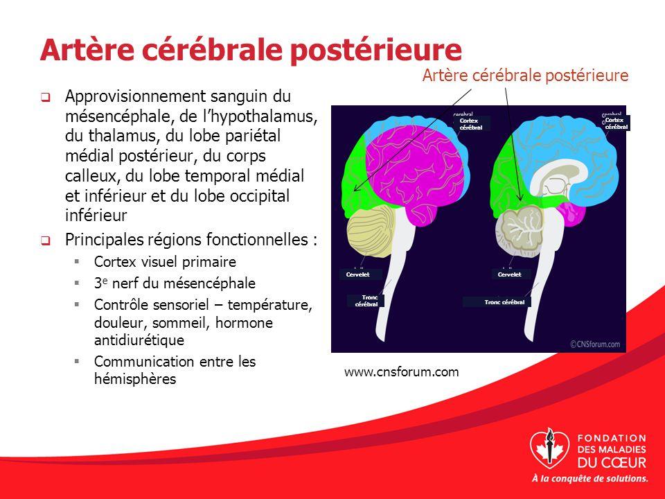 Artère cérébrale postérieure Approvisionnement sanguin du mésencéphale, de lhypothalamus, du thalamus, du lobe pariétal médial postérieur, du corps ca