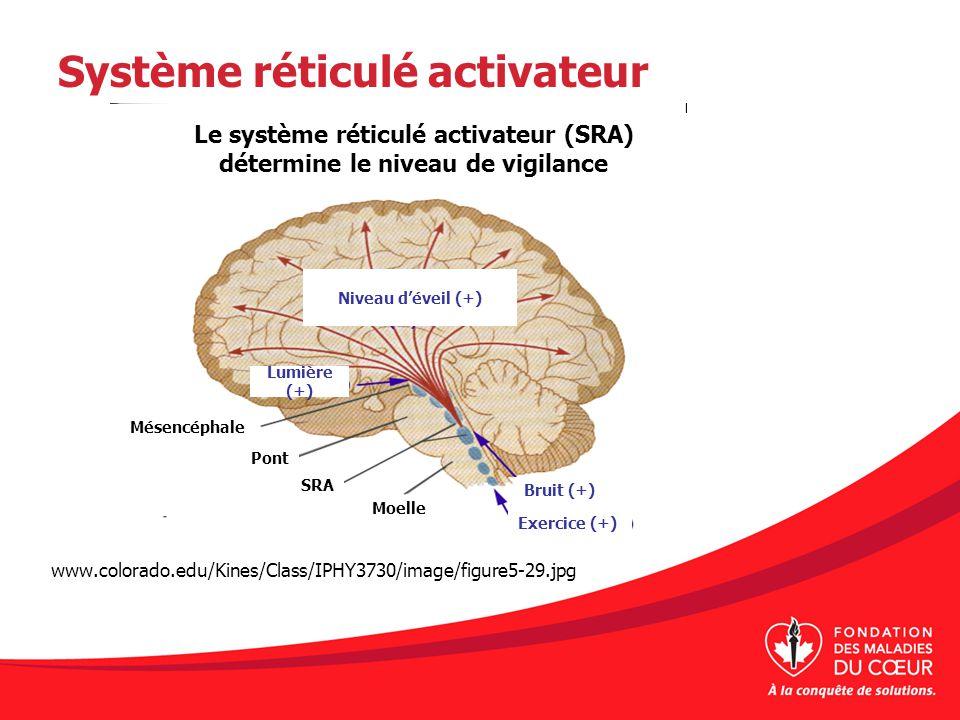 Système réticulé activateur www.colorado.edu/Kines/Class/IPHY3730/image/figure5-29.jpg Le système réticulé activateur (SRA) détermine le niveau de vig