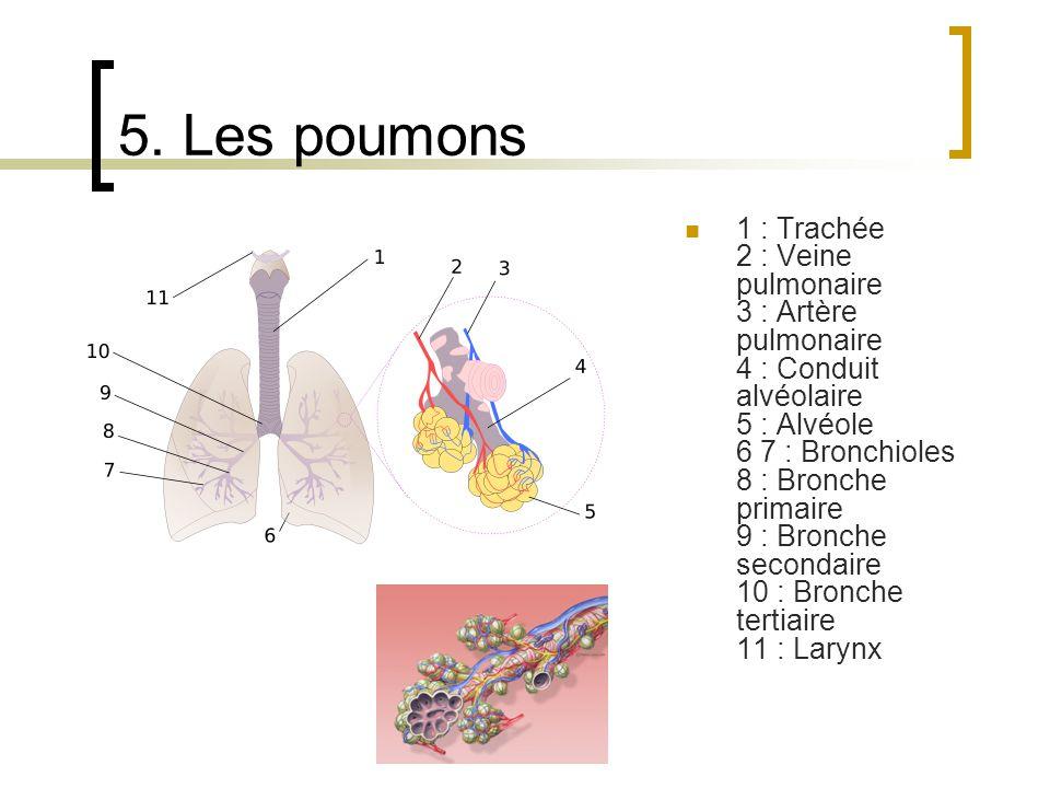 5. Les poumons 1 : Trachée 2 : Veine pulmonaire 3 : Artère pulmonaire 4 : Conduit alvéolaire 5 : Alvéole 6 7 : Bronchioles 8 : Bronche primaire 9 : Br