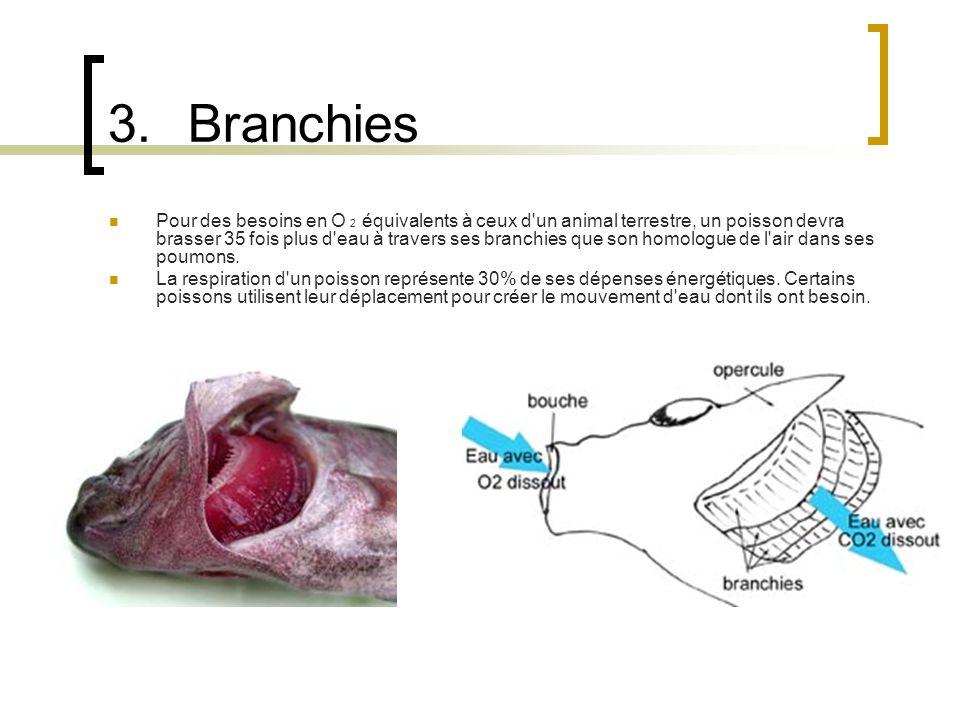 3.Branchies Pour des besoins en O 2 équivalents à ceux d'un animal terrestre, un poisson devra brasser 35 fois plus d'eau à travers ses branchies que