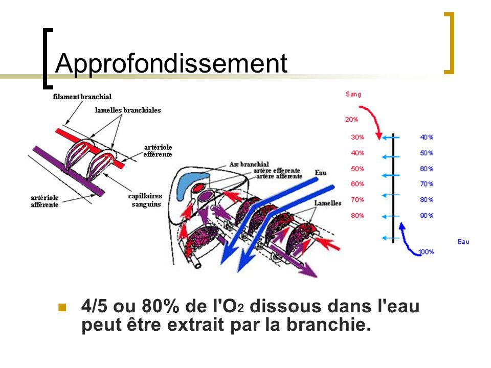 Approfondissement 4/5 ou 80% de l O 2 dissous dans l eau peut être extrait par la branchie.