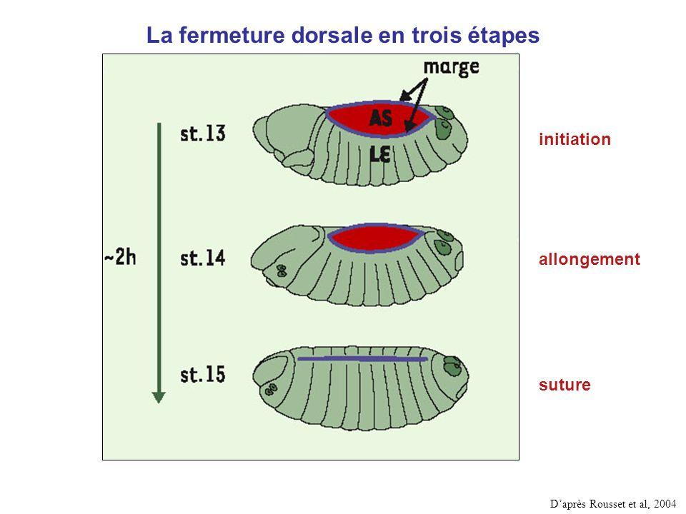 La fermeture dorsale en trois étapes initiation allongement suture Daprès Rousset et al, 2004