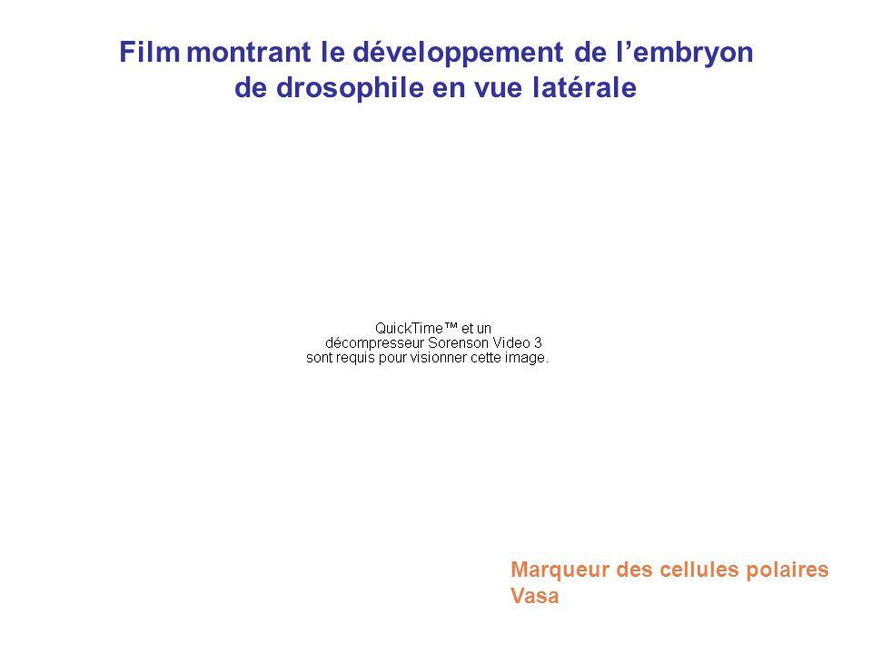 Film montrant le développement de lembryon de drosophile en vue latérale Marqueur des cellules polaires Vasa