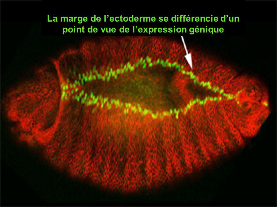 La marge de lectoderme se différencie dun point de vue de lexpression génique