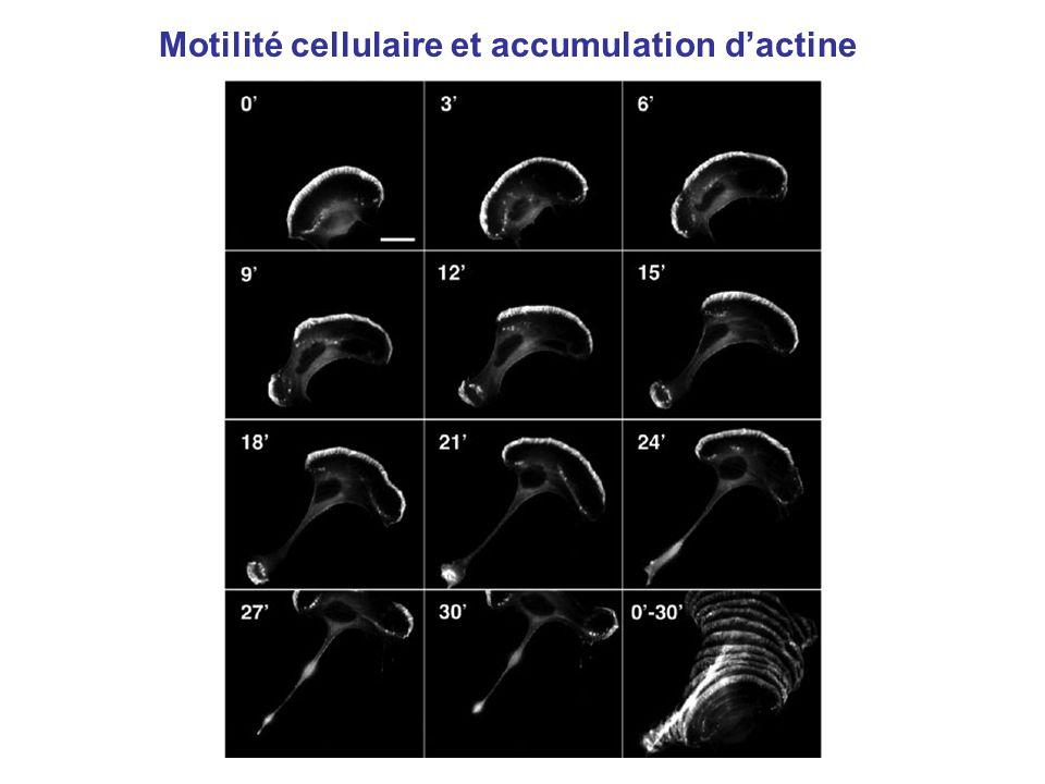 Motilité cellulaire et accumulation dactine