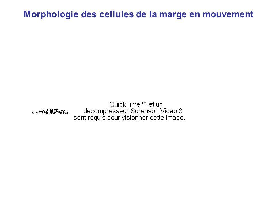 Morphologie des cellules de la marge en mouvement