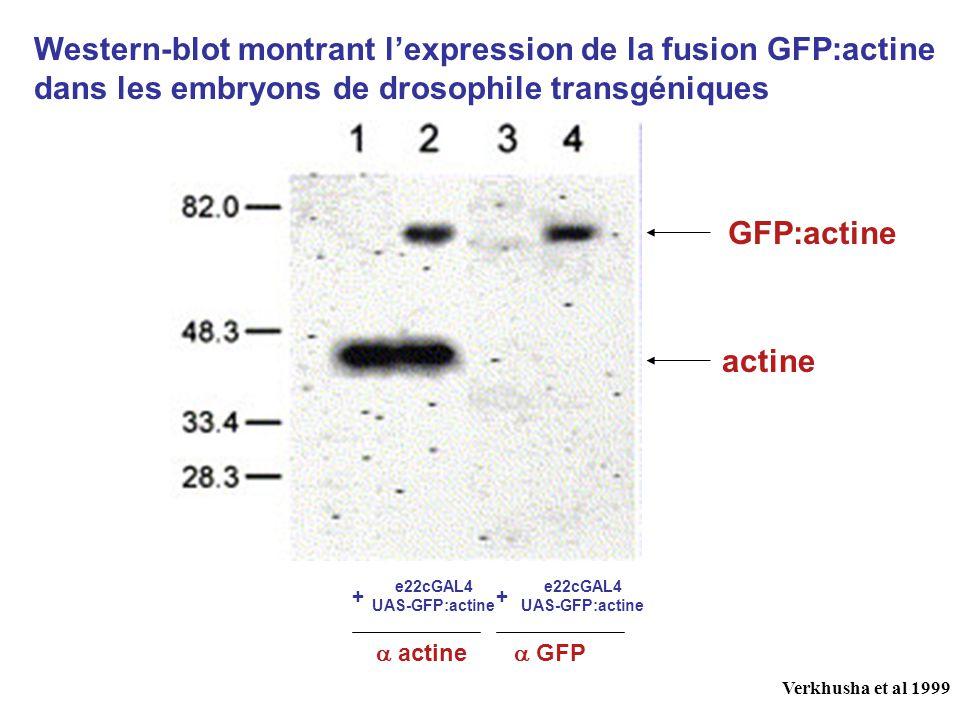 Western-blot montrant lexpression de la fusion GFP:actine dans les embryons de drosophile transgéniques ++ e22cGAL4 UAS-GFP:actine e22cGAL4 UAS-GFP:actine GFP:actine actine GFP Verkhusha et al 1999