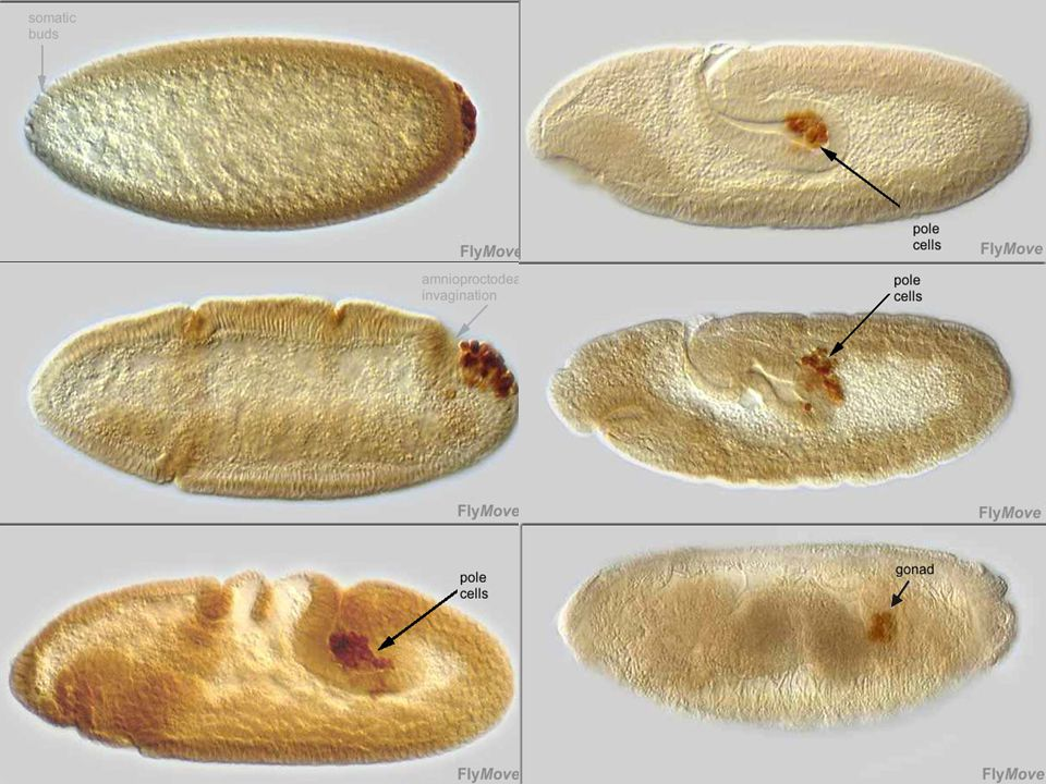 Film montrant le développement de lembryon de drosophile en vue dorsale Marqueur des cellules polaires Vasa