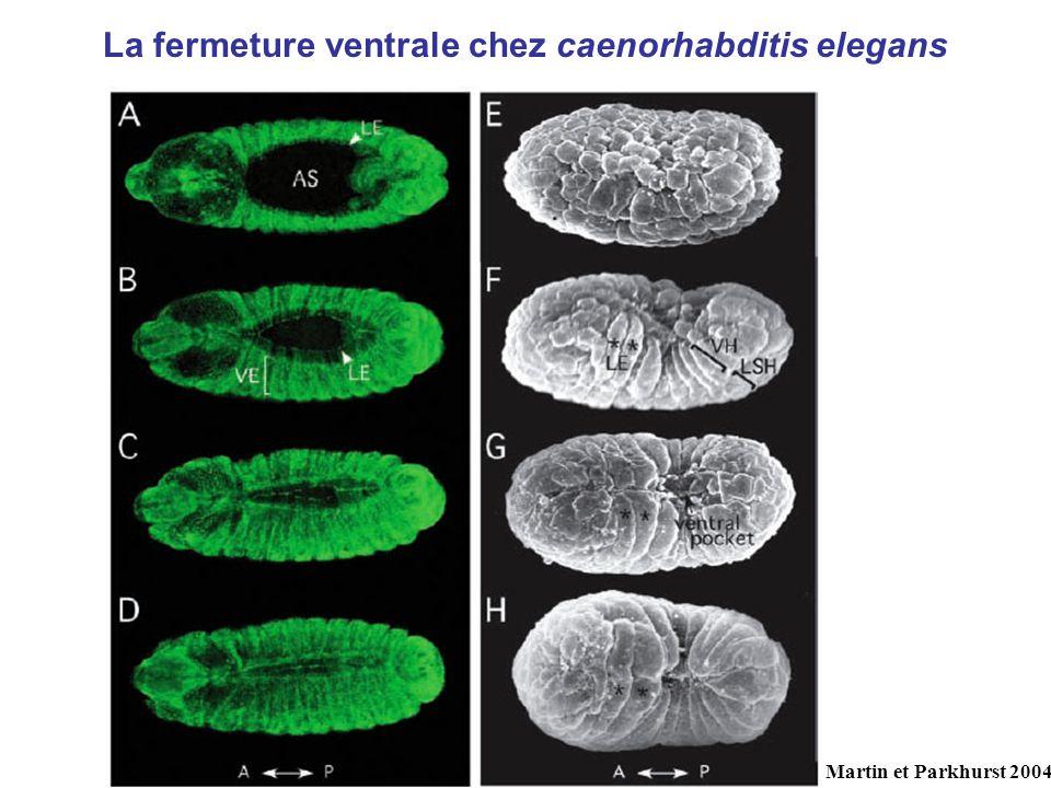 La fermeture ventrale chez caenorhabditis elegans Martin et Parkhurst 2004