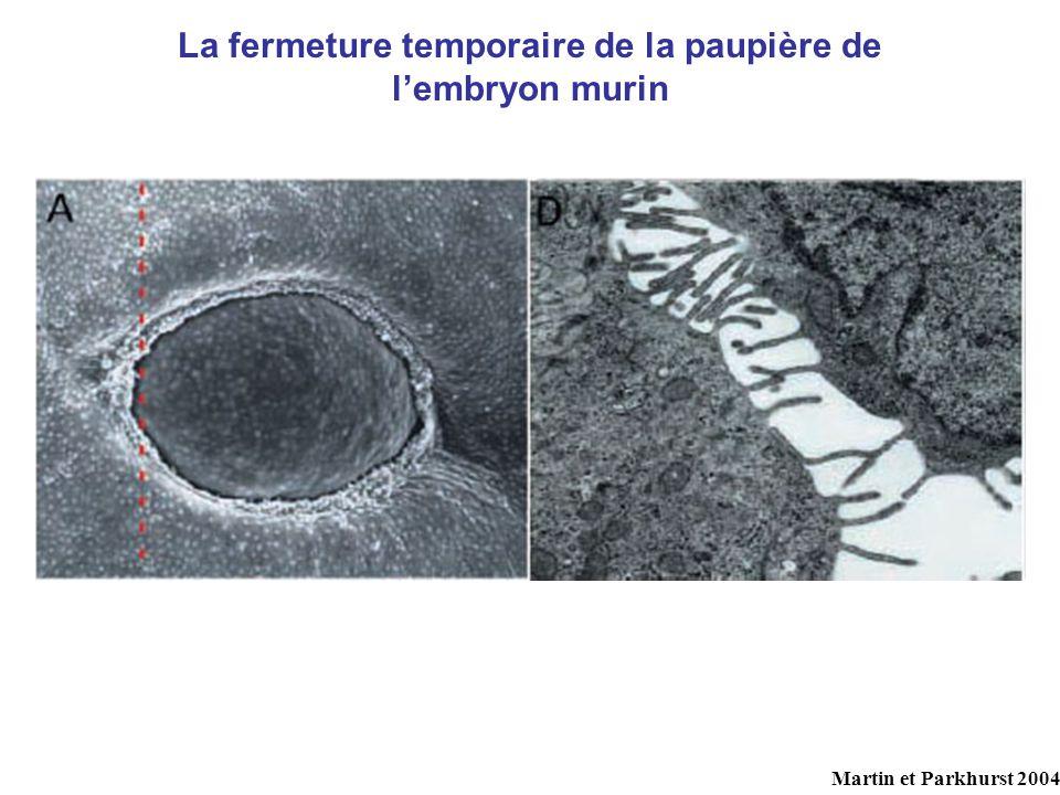La fermeture temporaire de la paupière de lembryon murin Martin et Parkhurst 2004