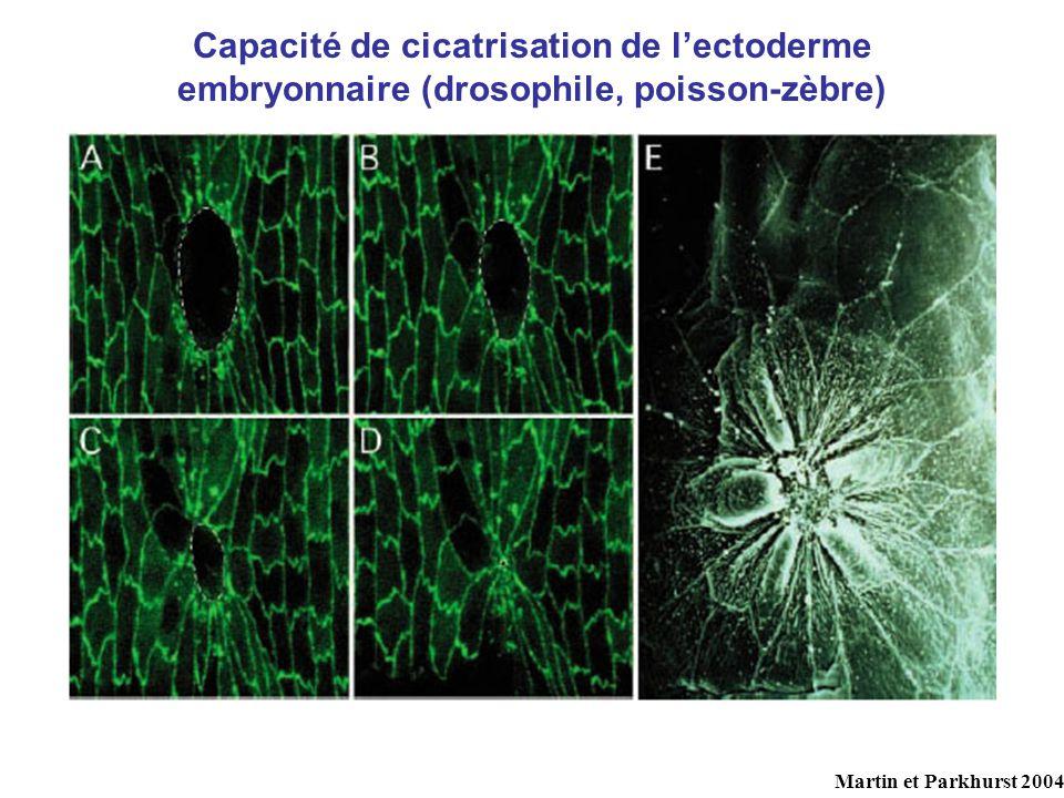 Capacité de cicatrisation de lectoderme embryonnaire (drosophile, poisson-zèbre) Martin et Parkhurst 2004
