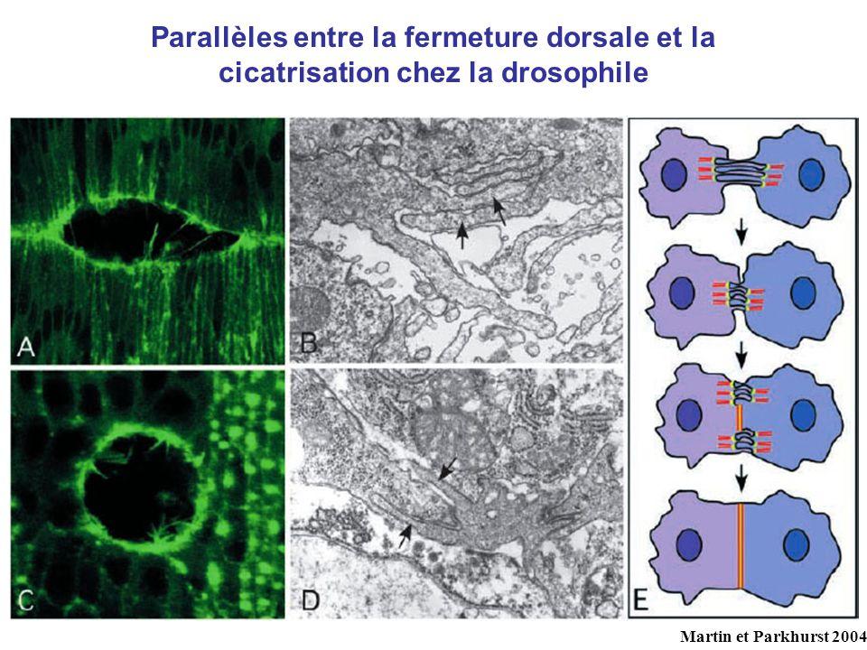 Parallèles entre la fermeture dorsale et la cicatrisation chez la drosophile Martin et Parkhurst 2004