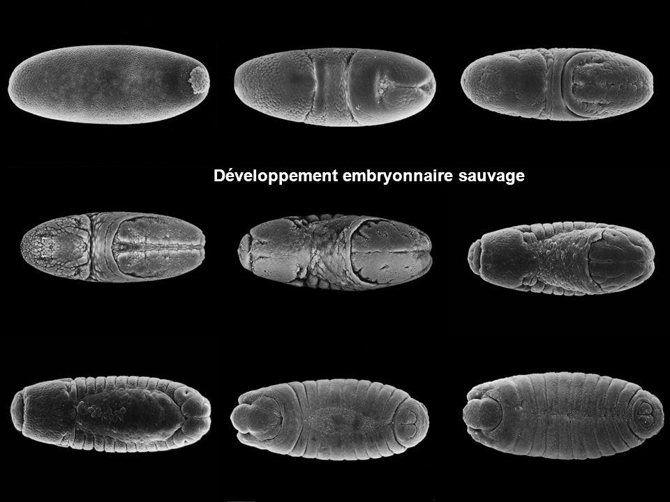 Développement embryonnaire sauvage