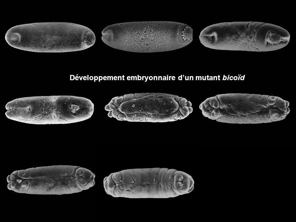 Développement embryonnaire dun mutant bicoïd