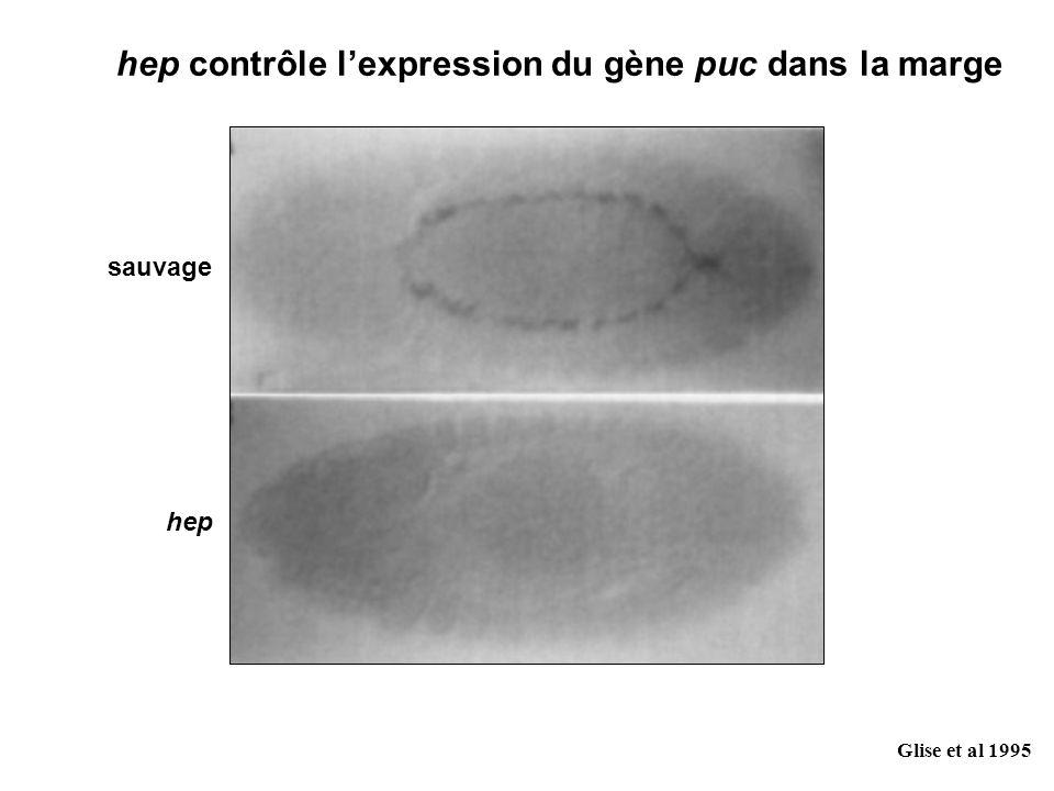 Glise et al 1995 hep contrôle lexpression du gène puc dans la marge sauvage hep