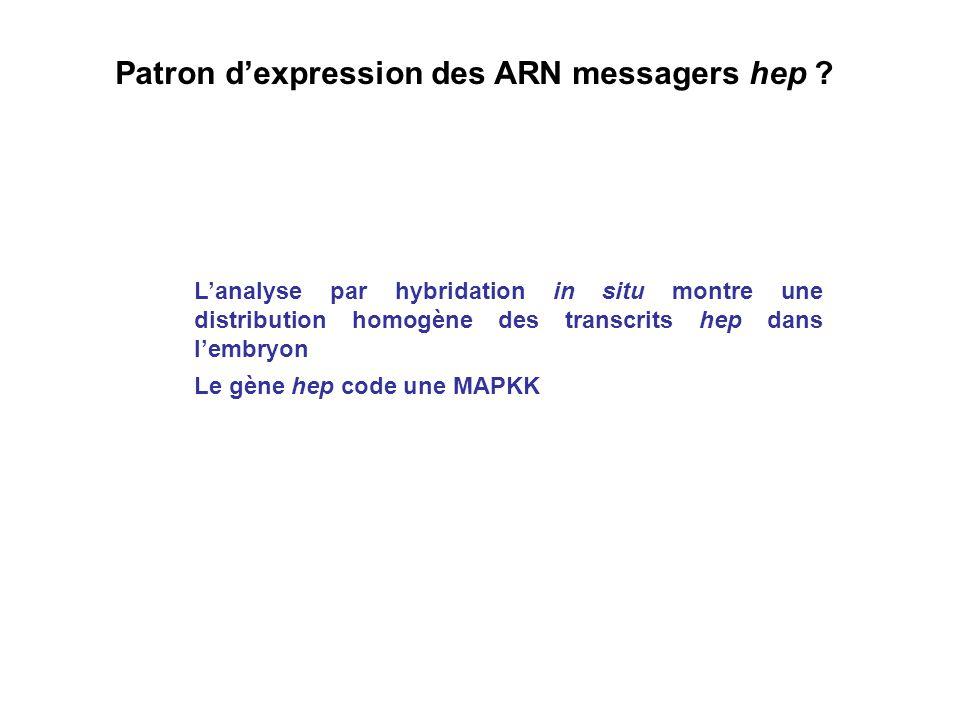 Patron dexpression des ARN messagers hep ? Lanalyse par hybridation in situ montre une distribution homogène des transcrits hep dans lembryon Le gène