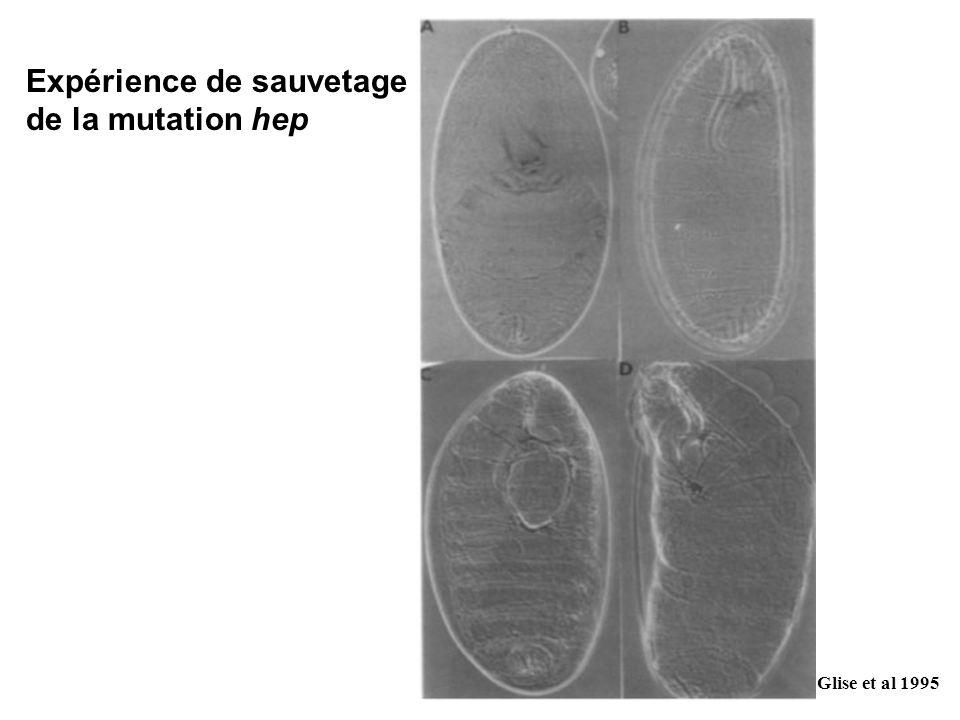 Glise et al 1995 Expérience de sauvetage de la mutation hep