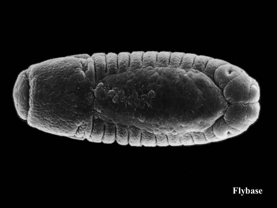 hepsauvage En Glise et al 1995 Incapacité des embryons hep à étendre lépiderme dorsal