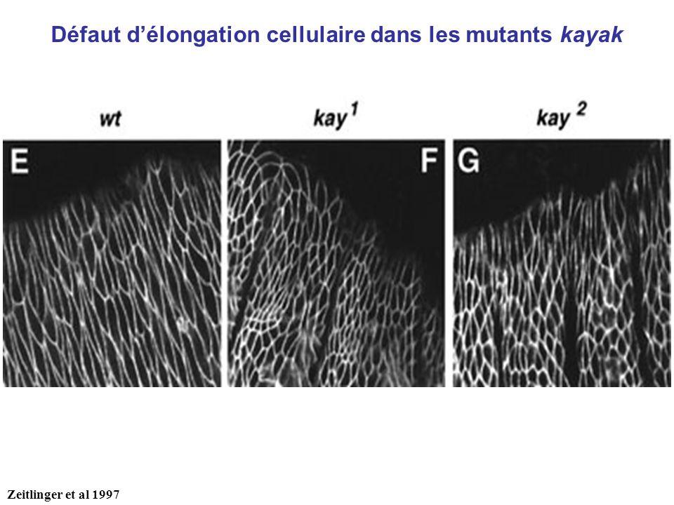 Défaut délongation cellulaire dans les mutants kayak Zeitlinger et al 1997