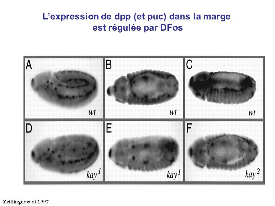 Lexpression de dpp (et puc) dans la marge est régulée par DFos