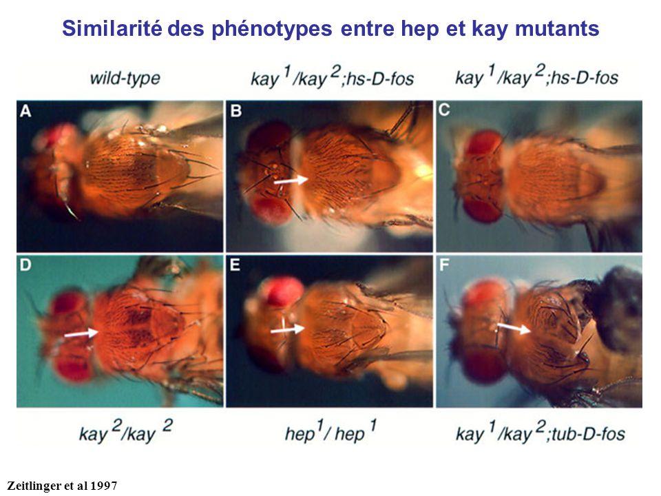 Zeitlinger et al 1997 Similarité des phénotypes entre hep et kay mutants