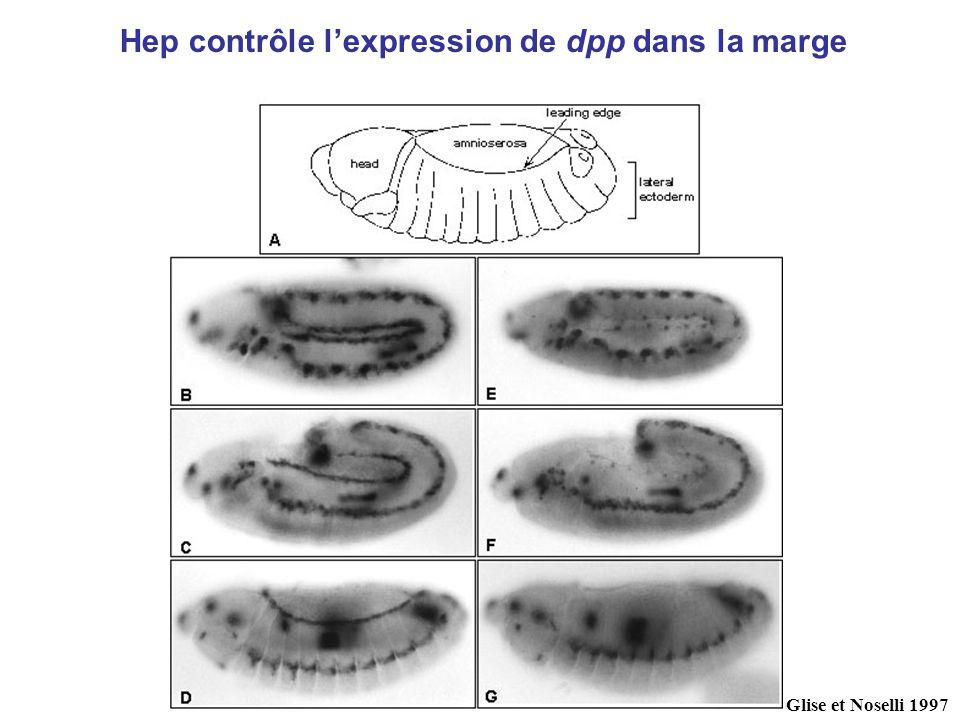 Glise et Noselli 1997 Hep contrôle lexpression de dpp dans la marge