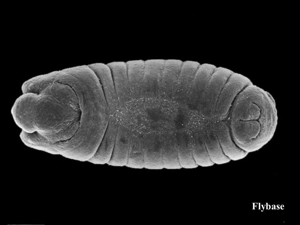 La cuticule larvaire chez la drosophile
