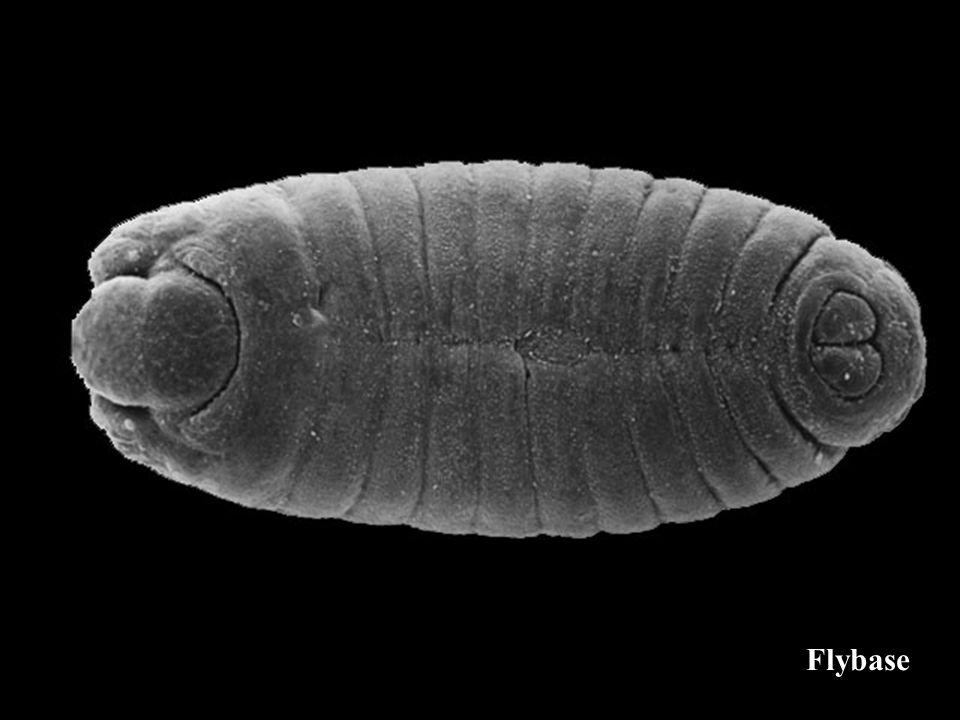 Défaut cuticulaire dun mutant affectant le plan dorganisation de la larve sauvage wimp classes phénotypiques