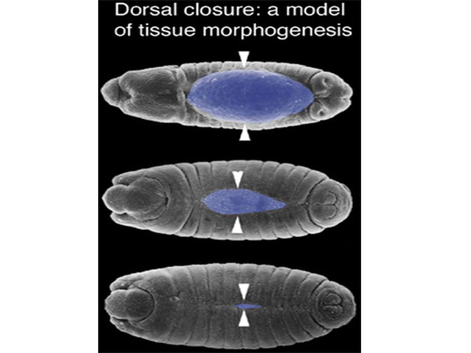 Changement de forme cellulaire dans lépiderme latéral pendant la fermeture dorsale Kiehart et al 2000