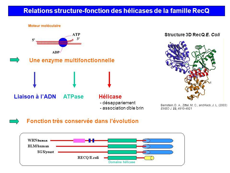 Relations structure-fonction des hélicases de la famille RecQ Fonction très conservée dans l'évolution Domaine hélicase Liaison à lADNATPase Une enzym