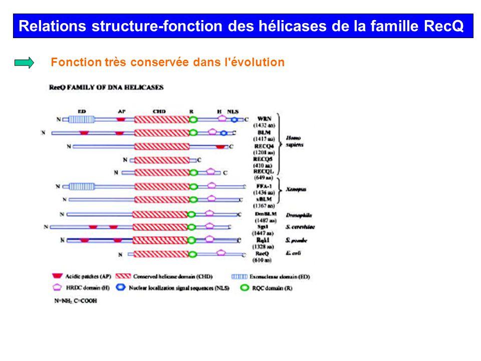 Relations structure-fonction des hélicases de la famille RecQ Fonction très conservée dans l'évolution