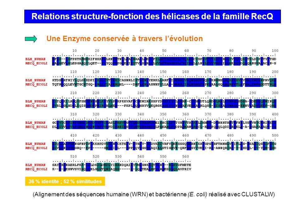 Relations structure-fonction des hélicases de la famille RecQ Une Enzyme conservée à travers lévolution (Alignement des séquences humaine (WRN) et bac