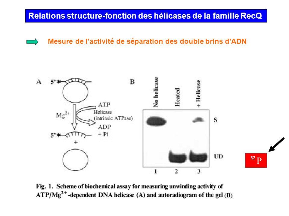 Relations structure-fonction des hélicases de la famille RecQ Mesure de l'activité de séparation des double brins d'ADN (B) 32 P